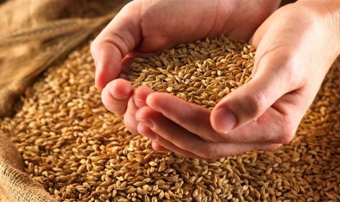 Porasla sadnja pšenice