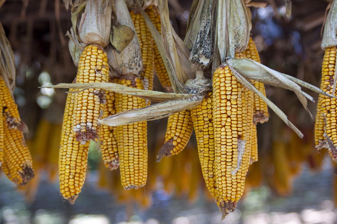 U FBiH porasla proizvodnja krompira, graha, kukuruza, smanjena proizvodnja jabuke, šljive, duhana